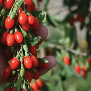 Big Lifeberry® - Goji Berry (Lycium barbarum)