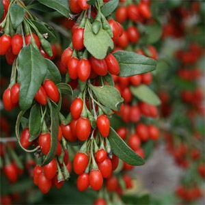 Sweet Lifeberry™ - Goji Berry (Lycium barbarum)