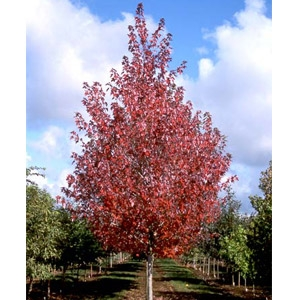 Redpointe Maple Tree