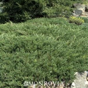 Andorra Juniper