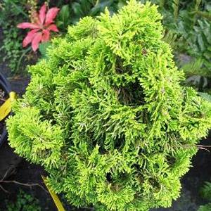 Verdoni Cypress