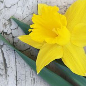 Narcissus Trumpet 'Dutch Master'