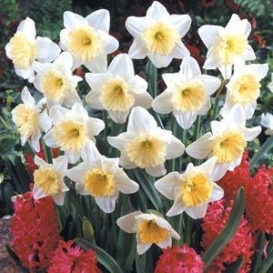Narcissus Large Cup Narcissus 'Ice Follies'