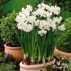Narcissus tazetta ssp papyraceus 'Ziva'