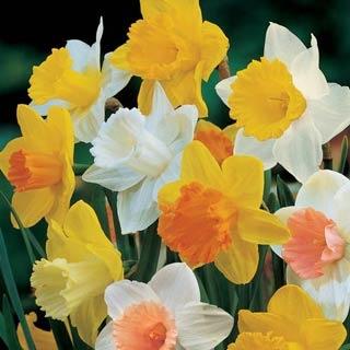 Trumpet Narcissus