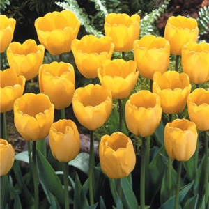 Tulipa Darwin Hybrid 'Golden Apeldoorn'