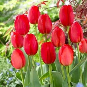 Tulipa Darwin Hybrid 'Parade'