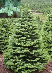 Noble Fir Christmas Trees