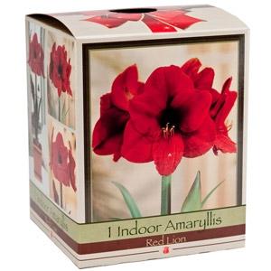Netherland Bulb Amaryllis