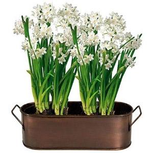 Paperwhite 'Ziva' Narcissus