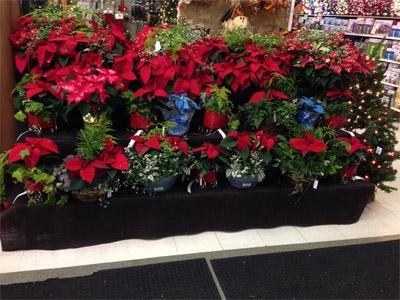 Holiday Plants