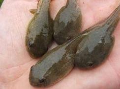 Bullfrog Tadpoles