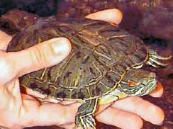 Red Ear Turtle