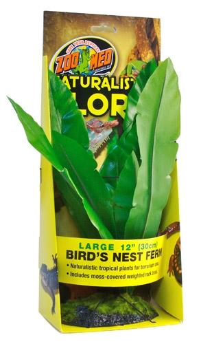 Zoo Bird Nest Fern 12