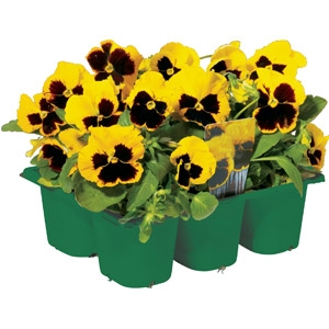 Jumbo 6-pack Pansies
