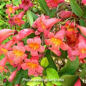 Crossvine - Bignonia capreolata