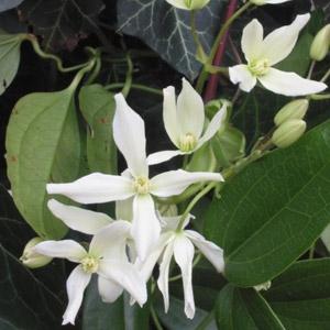 Evergreen Clematis - Clematis armandii