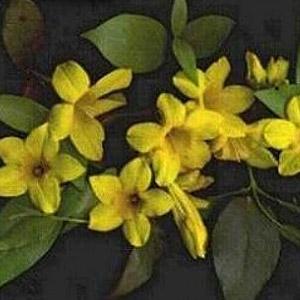 Fall Blooming Jessamine - Gelsemium rankinii