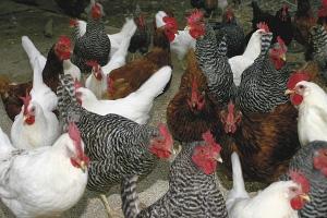 Chicken Chat 201