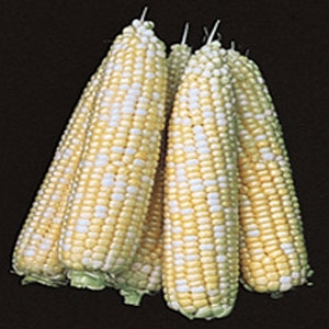 SeedWay® Estase II Hybrid Sweet Corn Seed