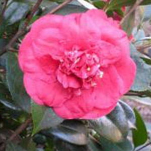 Cam Too Nursery 'April Tryst' Camellia