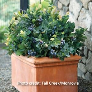 Blueberry Bush Peach Sorbet™