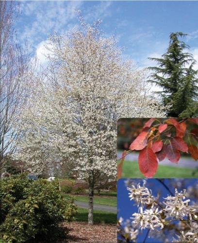 Serviceberry - 'Spring Flurry®'