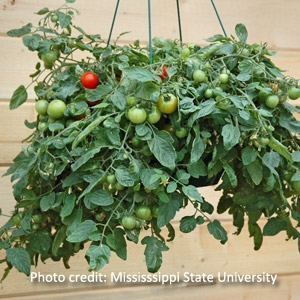 'Tumbling Tom' Tomatoes