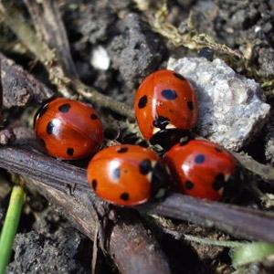 Live Ladybugs