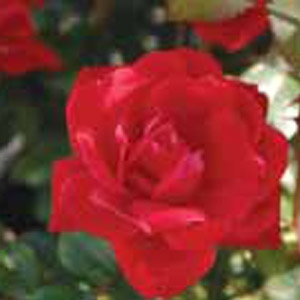 Rose Gardening - Made Easy!