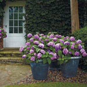'BloomStruck™' Hydrangea