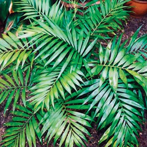 Neanthe Bella Parlor Palm