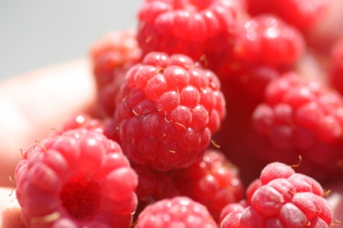 Locally Grown Raspberries, Red, Black & Yellow
