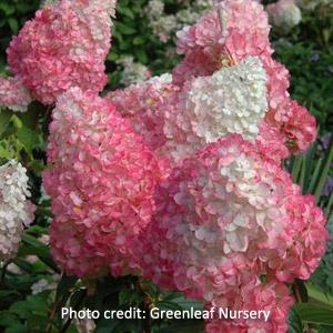 Strawberry Vanilla™ Hydrangea