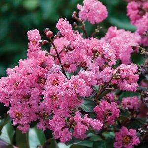 'Pink Velour®' Crape Myrtle