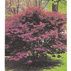 'Bloodgood' Japanese Maple Tree