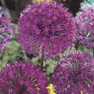 Van Bloem Allium 'Purple Sensation' Bulbs