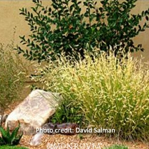 Blue Grama Grass 'Blonde Ambition'