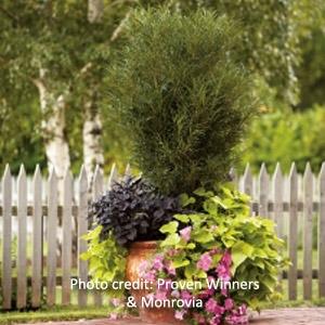 Fine Line® Fern Leaf Buckthorn