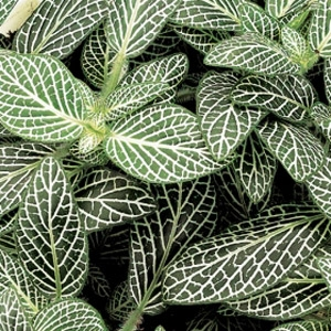 Fittonia - Mini White