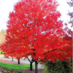 'Green Mountain' Sugar Maple Tree