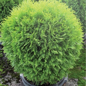 All Shrubs on Sale