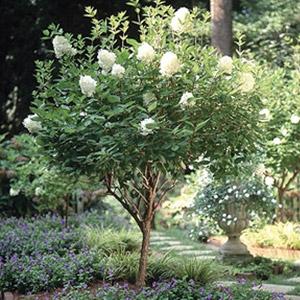 Limelight Hydrangea Tree