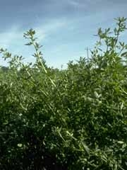 Alfalfa Forage Queen Seed 1 Lb