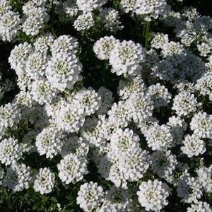Iberis 'Snowflake' Candytruft