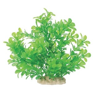 NATURAL ELEMENTS MONEYWORT