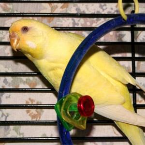 Canary