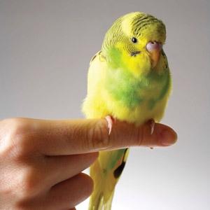 Parakeet (Budgerigar)