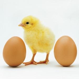 Chicks In Stock