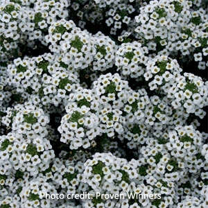 'Snow Princess' Alyssum Lobularia